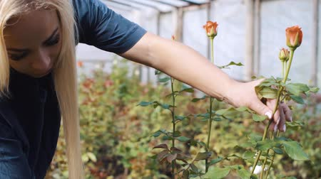 florista : Woman cutting rose in garden in greenhouse