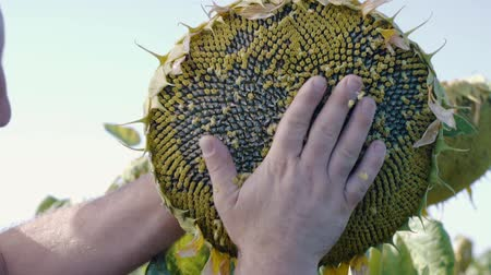 A mans hand checks the quality of sunflower