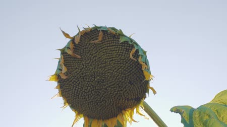 flowering sunflower on a background cloudy sky