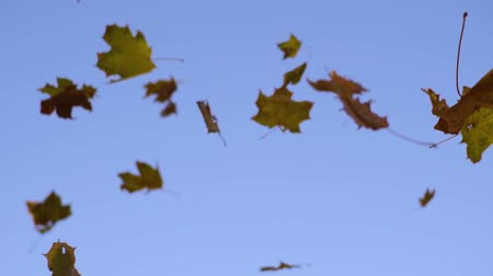 Falling Fall maple leaves, slow motion
