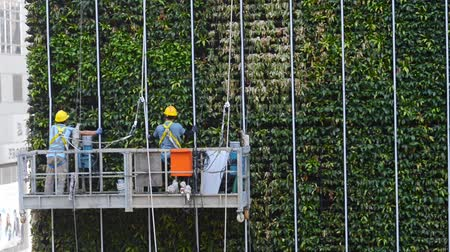 ubezpieczenia : Hongkong, China - August 2019: two industrial climbers moving to the corner of green tree wall building. alpinist cleaning facade service. helmet equipment. clean leaves. dangerous height. ecological house Wideo