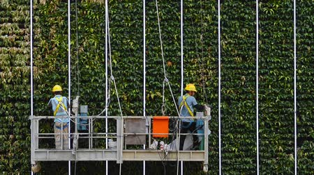 titular : Hongkong, China - August 2019: two industrial climbers on green tree wall building. alpinist cleaning facade service. helmet equipment. clean and pour leaves. dangerous height. maintaining building Stock Footage
