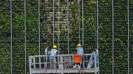 work at height : Hongkong, China - August 2019: two industrial climbers go down, descend green tree wall building. alpinist cleaning facade service. helmet equipment. clean and pour leaves. dangerous height. maintaining building Stock Footage