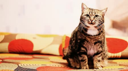 kotě : beautiful European cat is sitting on the couch. Dostupné videozáznamy
