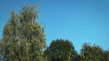 тишина : Trees slowly moving in a soft wind, with the blue sky in Background