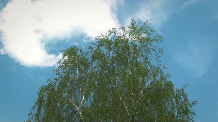 Tree slowly moving in a soft wind, with the blue sky in Background