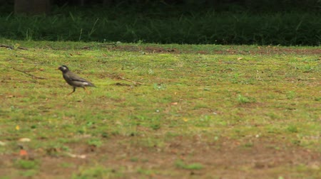 szpak : gray starling and wagtail Wideo