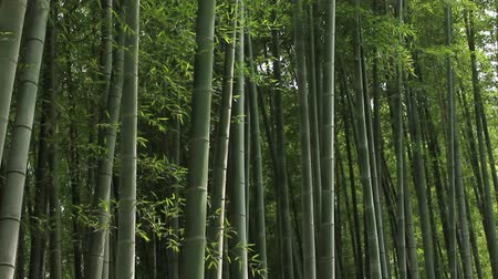 japan : forest of bamboo