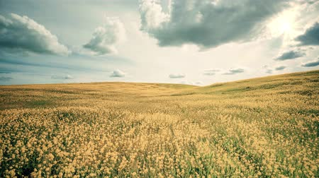 A slow motion camera zoom in a field of yellow lush and some dramatic skies and clouds. Wideo