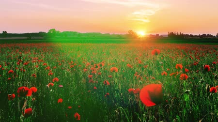 A slow motion zoom into a field of poppy flowers with a sun setting in the background.