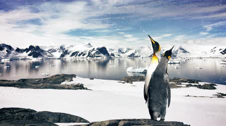 pinguim : Slow motion zoom in with two Emperor penguins in the arctic.