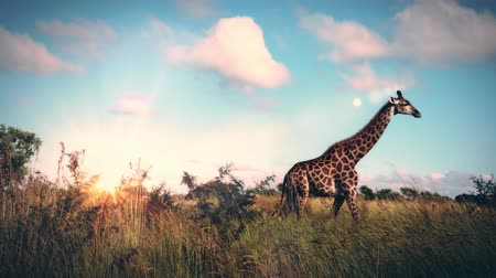 A slow motion zoom in of a giraffe in the African savanna. Wideo