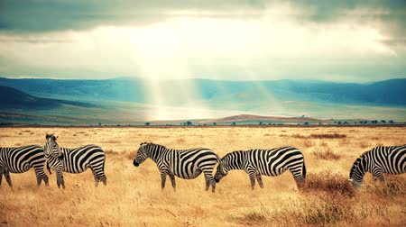 A slow motion zoom in with five zebras and dramatic skies in the background. Wideo