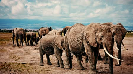 слоновая кость : Slow motion zoom in with a herd of elephants.
