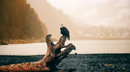 sas : A slow motion zoom in with a bald eagle standing on an old tree bark in front of a lake. Stock mozgókép