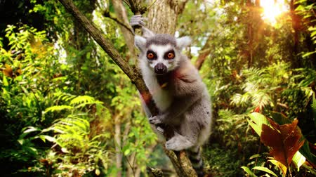 madagaskar : A slow motion video with a Lemur on a tree.