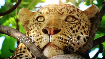 panter : A slow motion video with a leopard on a tree and save the planet caption.