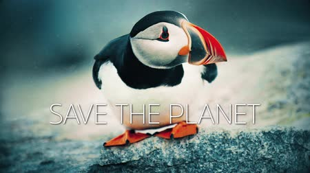 A slow motion video with a puffin bird on a rock and save the planet caption. Wideo