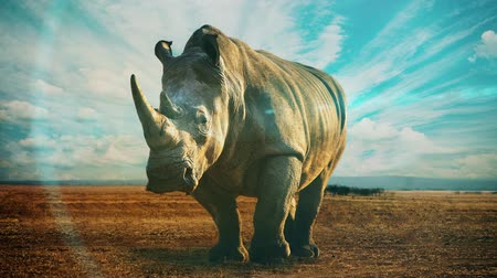 white rhino : A slow motion video with a rhinoceros in the wild and dramatic skies above.