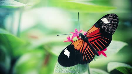 monarca : A slow motion video of a butterfly on a flower. Stock Footage