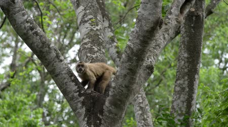 jungle : Monkey On The Tropical Rainforest Tree in Bolivia  Stock Footage