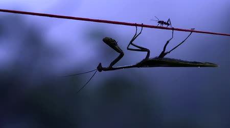 bengala : Praying-Mantis Hanging On Rope And Waiting Its Pray At Early Morning Bolivia Nikon D800