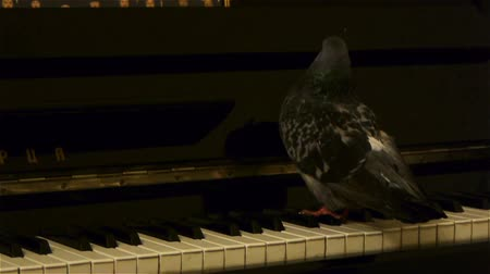 piyano : Pigeon bird plays the piano staying on keyboard Stok Video