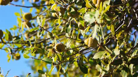 žalud : Green acorns on the tree, closeup view