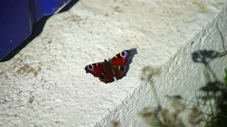 loga : Small Tortoiseshell Butterfly (Aglais urticae) on concrete
