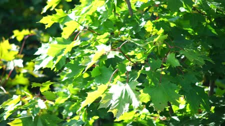 red maple : Maple tree leaves in early autumn