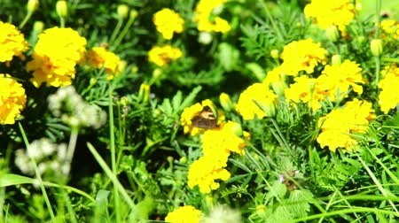 canteiro de flores : Butterfly on yellow marigold (Tagetes erecta) flowers on a flower-bed