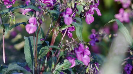 canteiro de flores : Impatiens glandulifera pink flowers on a meadow Vídeos