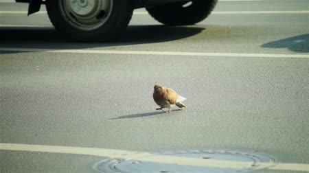 odwaga : Brave city pigeon with red feather walking through roadway at day traffic