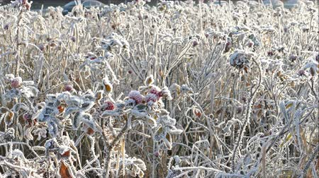 thornbush : 4K Ultra HD Video of Briar Dogrose Berries With Hoarfrost in Frosty Day