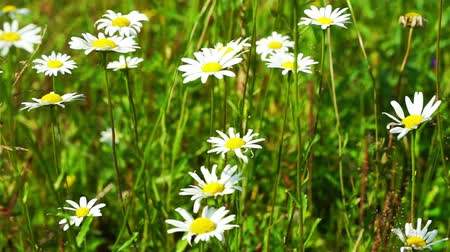 százszorszép : Beautiful White Daisy Flowers at Summer Field Stock mozgókép