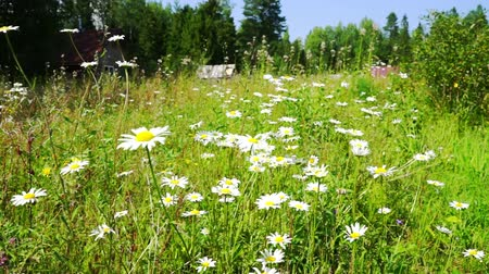 луг : Beautiful White Daisy Flowers at Summer Field Стоковые видеозаписи