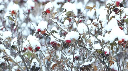 thornbush : 4K Ultra HD Video of Briar Dogrose Berries in a Snowy Winter Day