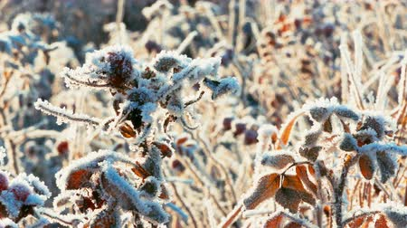 4K Ultra HD Video di Briar Dogrose bacche con brinate in Frosty Day