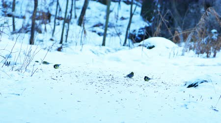 Cincia Parus major Mangiare in Winter Forest Girato in 4K Ultra HD video può essere ridimensionato o ritagliata senza perdita di qualità