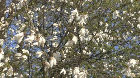 magnólia növény : Beautiful magnolia flowers bloom in the park Stock mozgókép