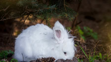coelho : Video of white rabbit outdoors