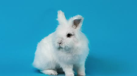 coelho : Video of white rabbit on blue screen
