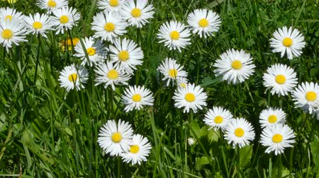 százszorszépek : Closeup of daisy flowers in a meadow in sunny spring day