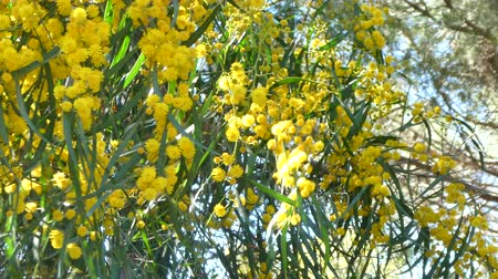 florido : Closeup of a flowery mimosa tree in a sunny day of spring, Platamona pond, sardinia