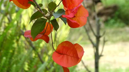beatiful : Closeup of red bougainvillea flowers in a sunny day Stock Footage