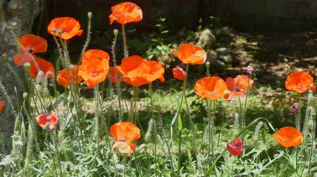 алый : Closeup of poppies in a meadow in sunny day of spring Стоковые видеозаписи