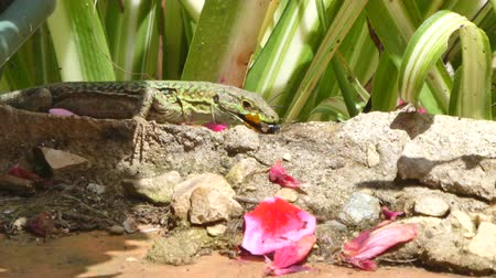 chamaeleo : lizard eating an insect in a garden in a sunny day Stock Footage