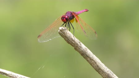 libélula : Closeup of red dragonfly on a branch in a meadow in spring Vídeos