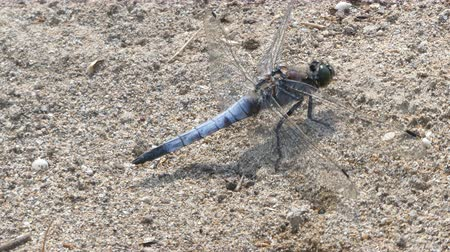 sardinie : Closeup of dragonfly on the sand in sunny day