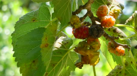 dut : Closeup of multicolored mulberries on the tree in a sunny day
